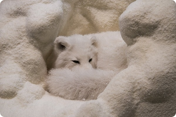 Обыкновенный песец или полярная лисица (лат. Alopex lagopus)
