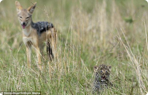 Отважный детеныш леопарда