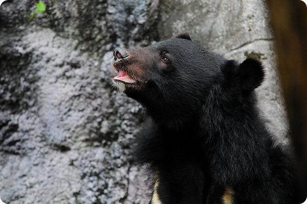 Гималайский медведь (лат. Ursus thibetanus)
