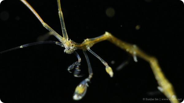 Капреллия - креветка-скелет