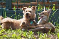 Терьер Мэдди и лисичка Рози — лучшие друзья!