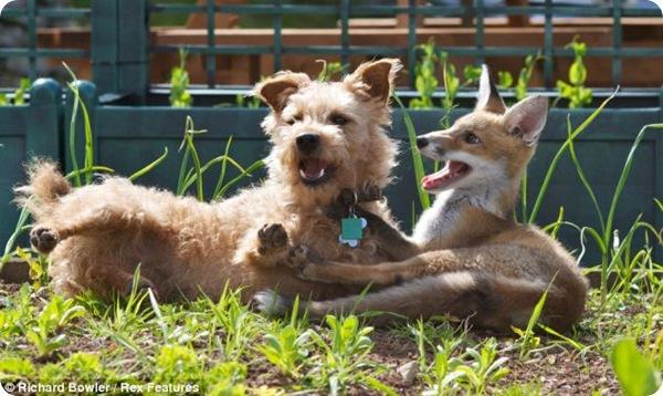 Терьер Мэдди и лисичка Рози - лучшие друзья!