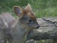 В зоопарке Нью-Йорка родился оленёнок пуду