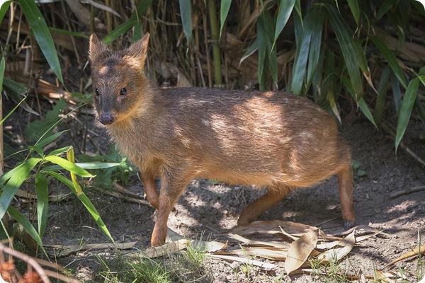 В зоопарке Нью-Йорка родился крохотный оленёнок пуду