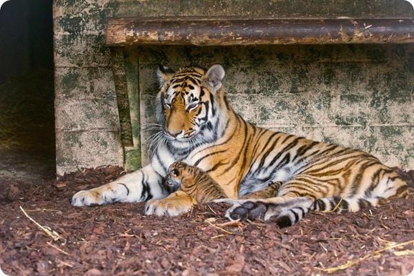 Амурские тигрята из шотландского зоопарка