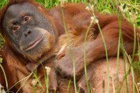 Суматранский орангутанг Дана родила малыша