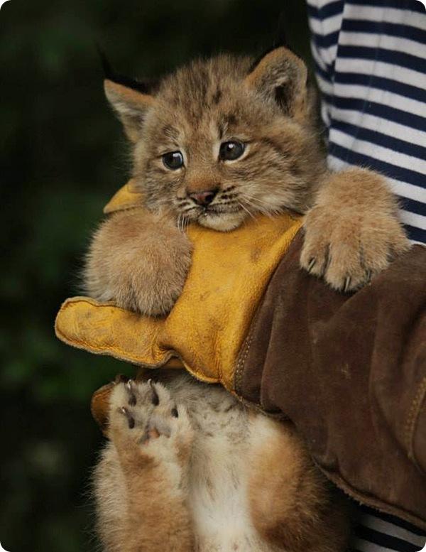 В чешском зоопарке родились канадские рыси