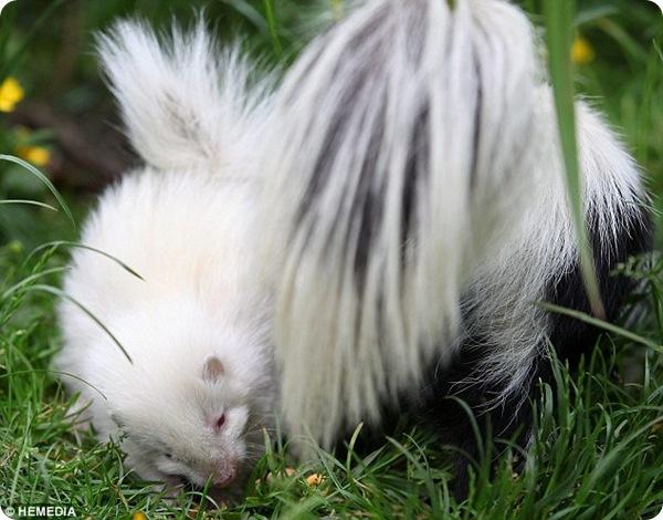 Скунс-альбинос из зоопарка Шотландии