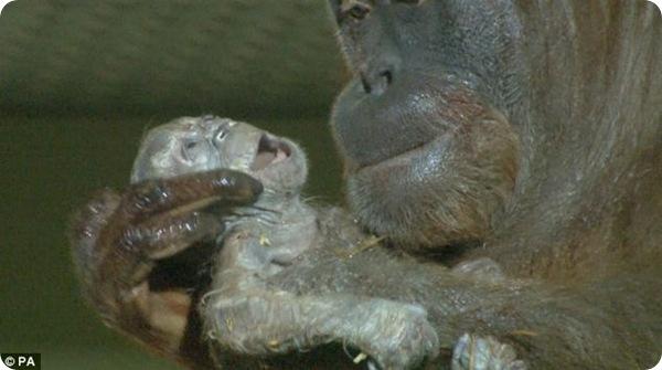 Сумантранский орангутанг Дана родила малыша
