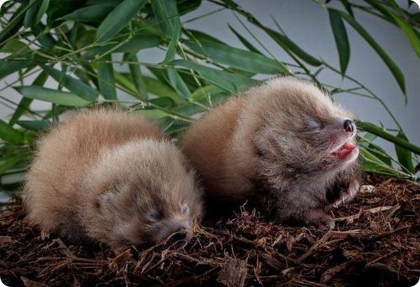 Большие новости о маленьких пандах