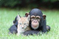 Рысенок и шимпанзе — лучшие друзья