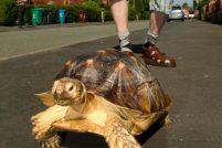 Англичанин, выгуливающий черепаху!