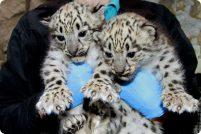 Снежные барсята из зоопарка Бойсе