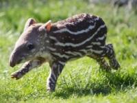 Детеныш бразильского тапира из зоопарка Дублина