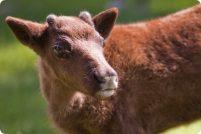 Детеныш северного оленя из Rosamond Gifford Zoo