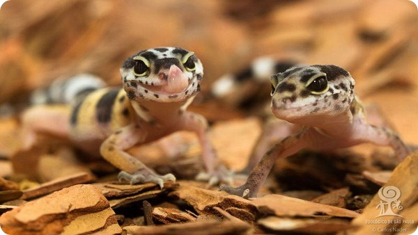 Леонардо и Мона Лиза - гекконы из Сан-Паулу
