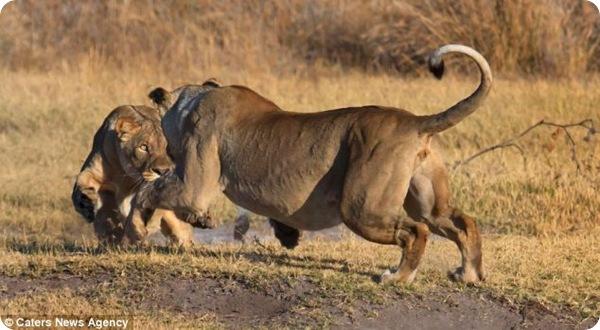 Дружеский поединок двух львов