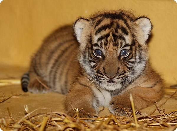 В зоопарке Галле родились малайские тигрята
