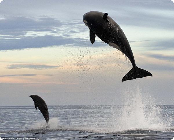 Невероятная погоня косатки за дельфином