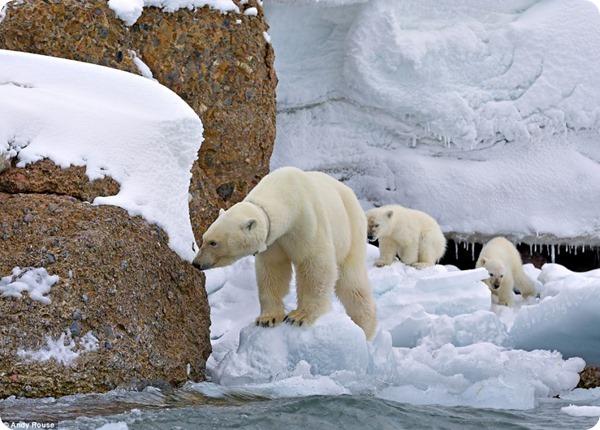 Опасная прогулка полярных медвежат