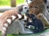 Дружба двух лемуров из зоопарка Drusillas Park