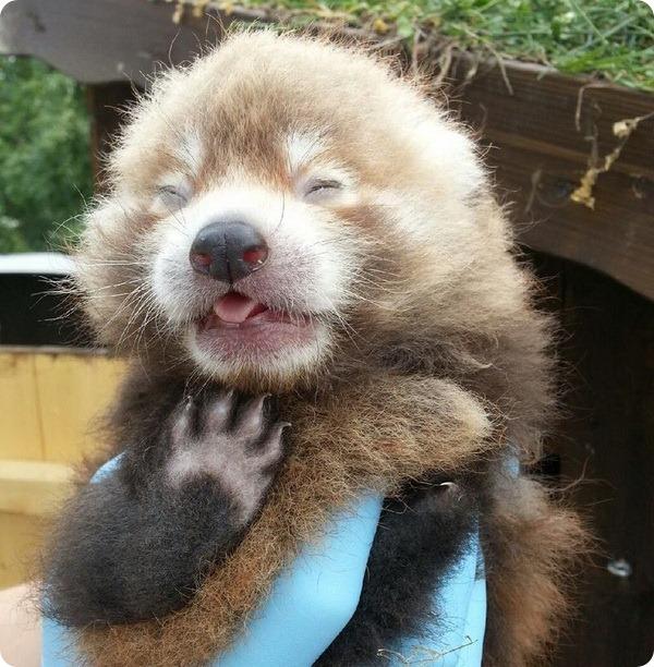 Детеныш малой панды из зоопарка Швеции