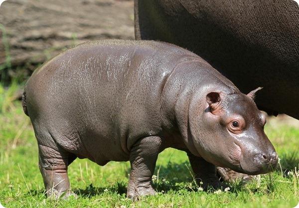 Маленький бегемотик из зоопарка Zoo Ostrava