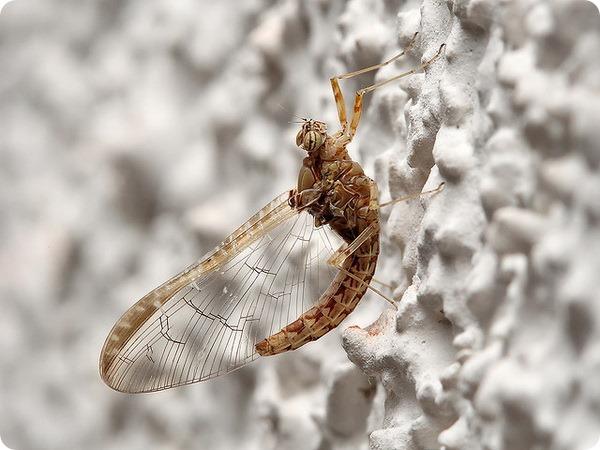Подёнка, или однодневка (лат. Ephemeroptera)