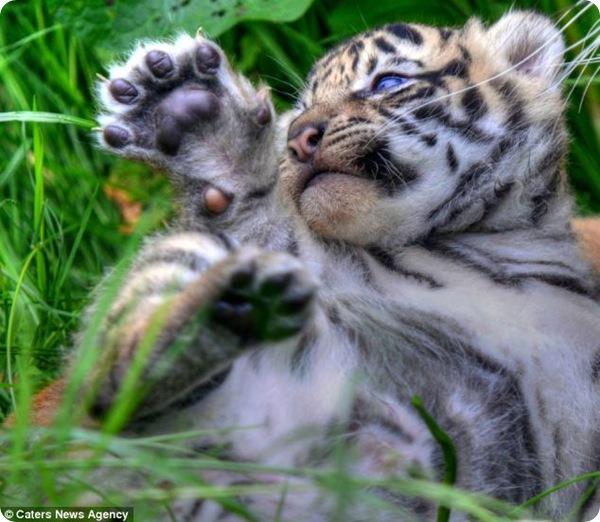 Первые снимки суматранских тигрят из Честера