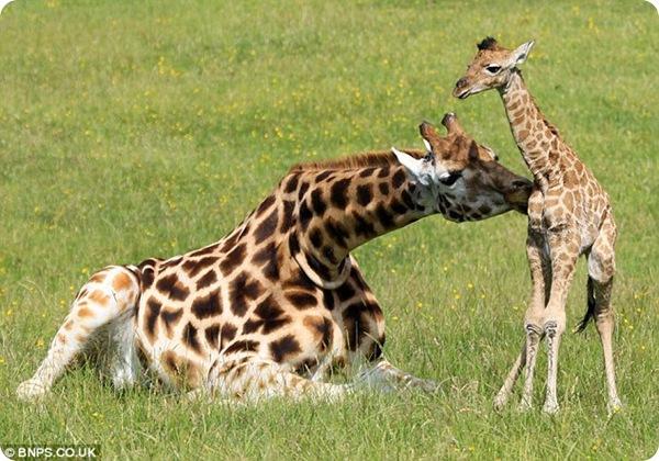 В английском зоопарке родился детёныш жирафа Ротшильда