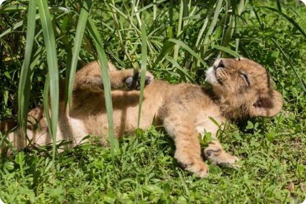 Львятам из зоопарка Флориды дали имена