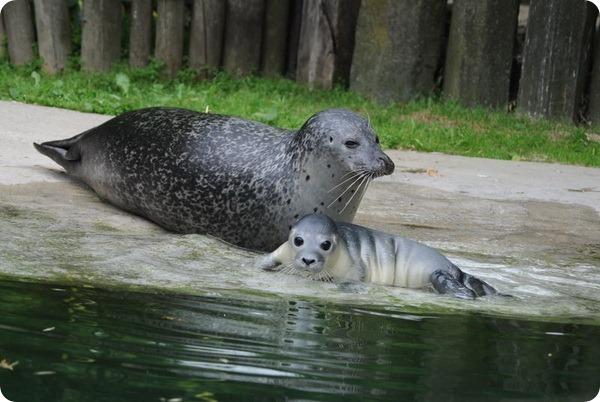 В немецком зоопарке родился долгожданный тюлененок