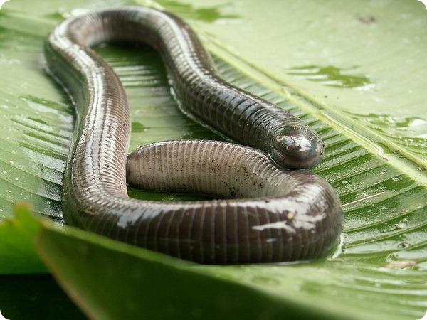 Червяги (лат. Caeciliidae)