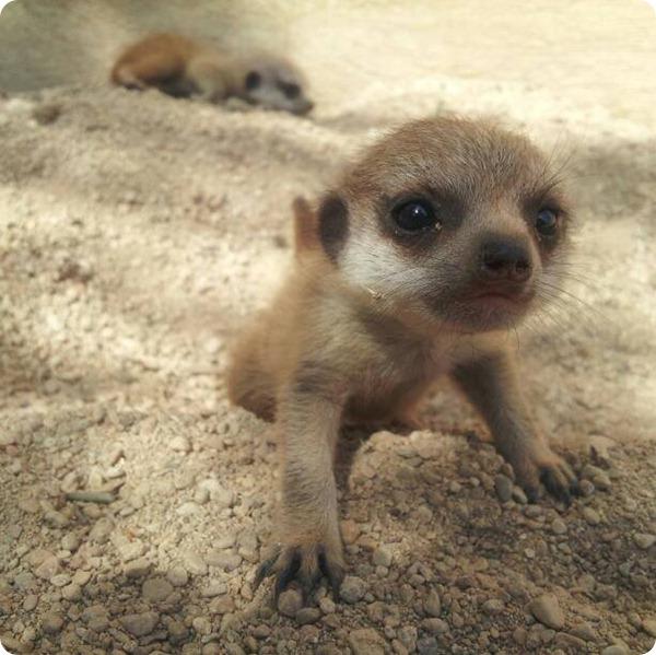 В зоопарке Cotswold Wildlife Park пополнение сурикатов