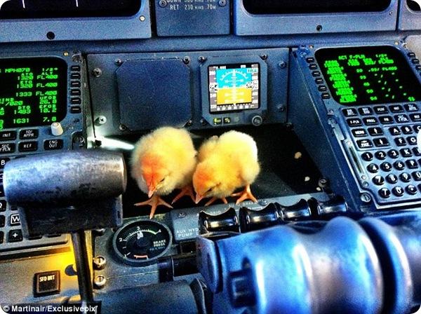 Цыплята-безбилетники