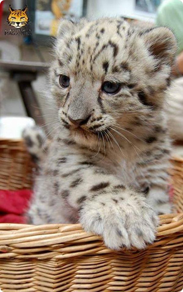 В зоопарке Магдебурга родились детеныши ирбиса