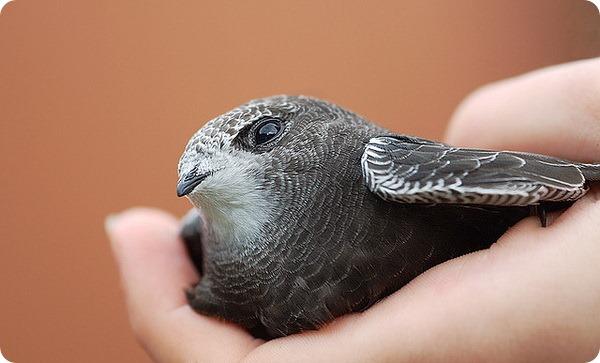 Черный стриж (лат. Apus apus)