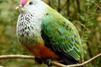 Розовошапочный пестрый голубь