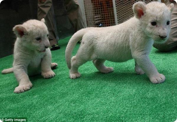 В Японии родились три белоснежных львёнка