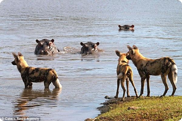 Противостояние бегемота и диких собак