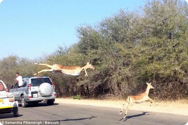 Импала скрывается от погони в автомобиле с туристами