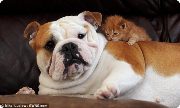 Бульдог Харли стала приёмной матерью для котёнка