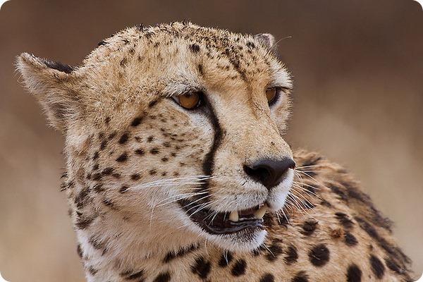 Гепарды (лат. Acinonyx jubatus)