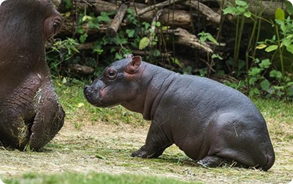 Маленький бегемотик из зоопарка Базеля