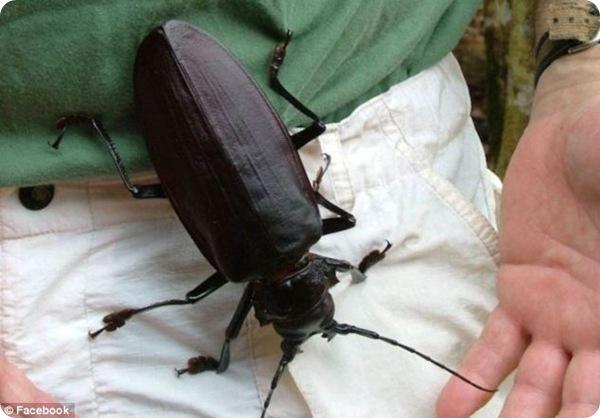 Дровосек-титан - самый крупный в мире жук!