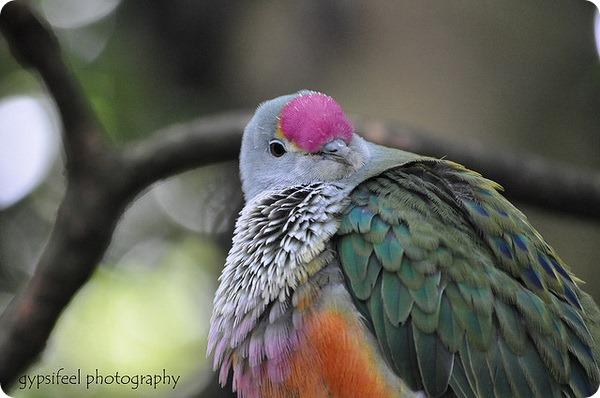 Розовошапочный пестрый голубь (лат. Ptilinopus regina)