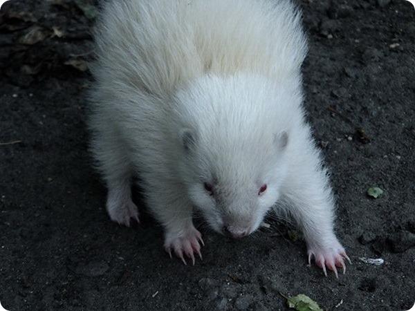 В зоопарке Шотландии родился редкий скунс-альбинос