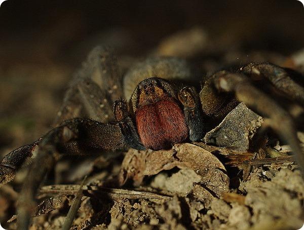 Бразильский странствующий паук (лат. Phoneutria)