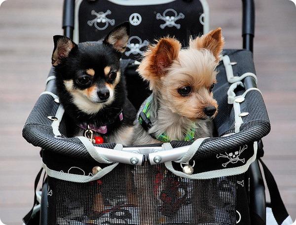 Обучение собак маленьких пород правилам поведения в доме