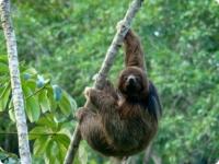 Ошейниковые ленивцы